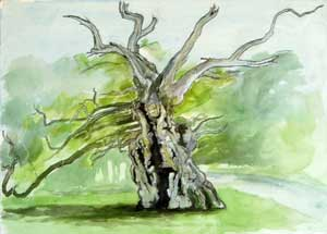 Sketch for The Laund Oak